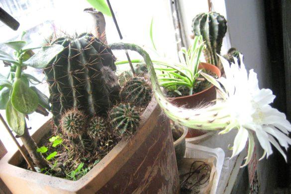 Kaktusblüte in unserem Treppenhaus